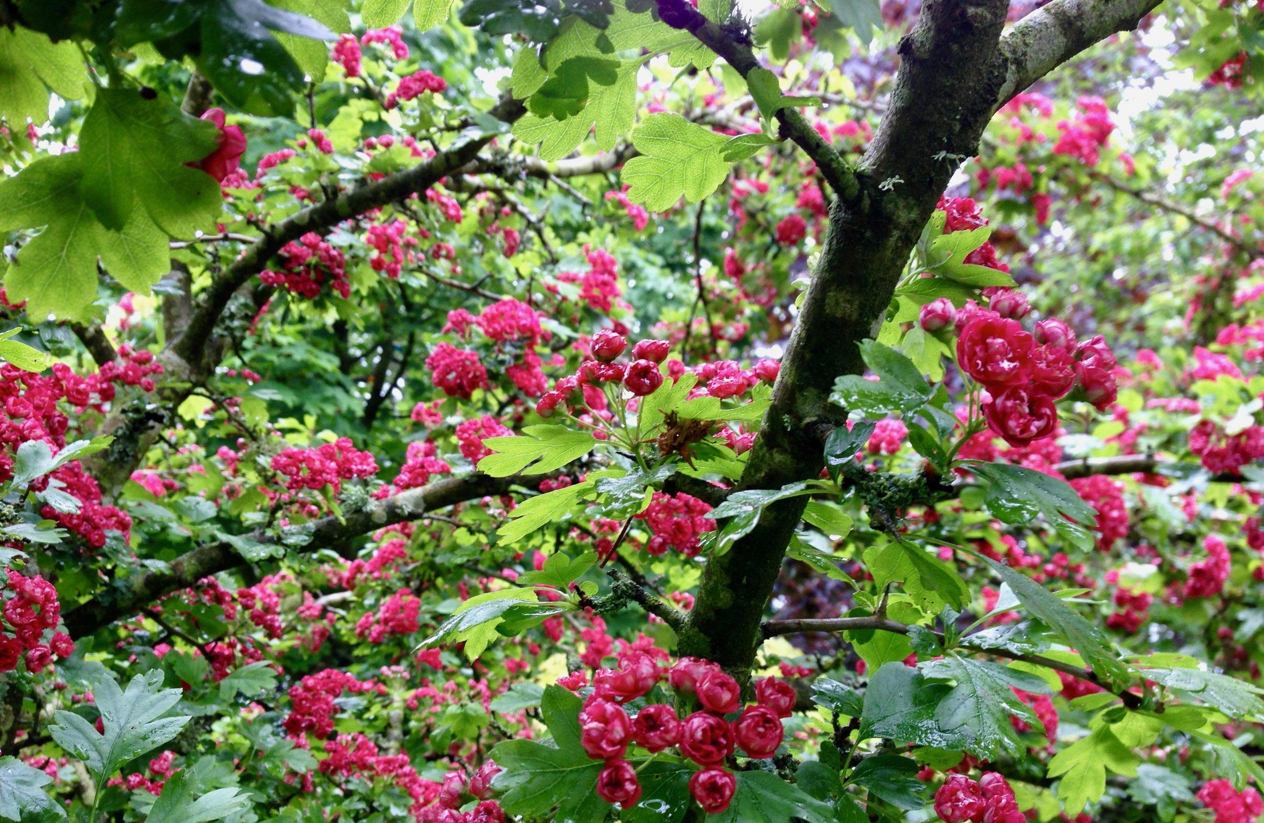 """Hawthorne Beat"" © 2013  mariannenishifué.com  Enniscorthy Ireland"