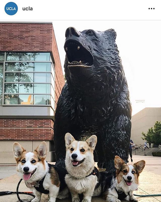 Repost @ucla because our two faves! #ucla #almamater #corgi #mascot #decodedprep #testprep #satprep #actprep #apprep #collegeadmissions