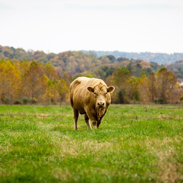 Inn-Mt-Vernon-Farm-Cow-sq.jpg