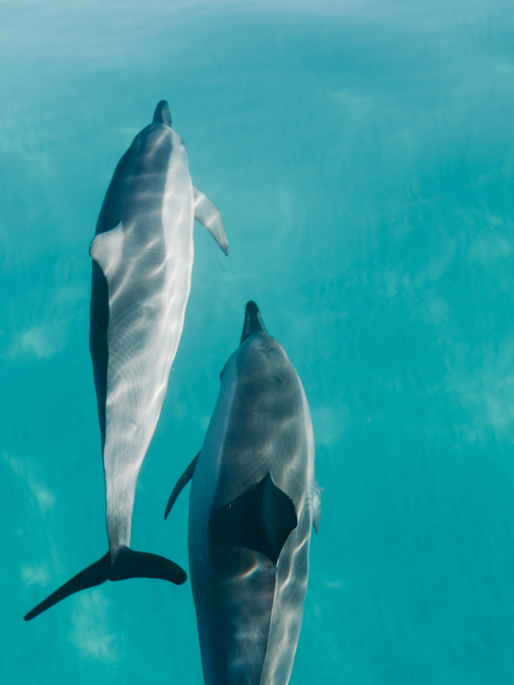 spinner_dolphins-Cookwilltravel-Kauai.jpg