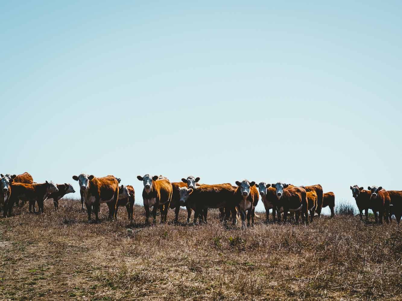 Cattle-Cookwilltravel-Huckberry-Jenner.jpg