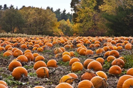 pumpkin-patch-desktop-wallpaper-5653-5939-hd-wallpapers.jpg