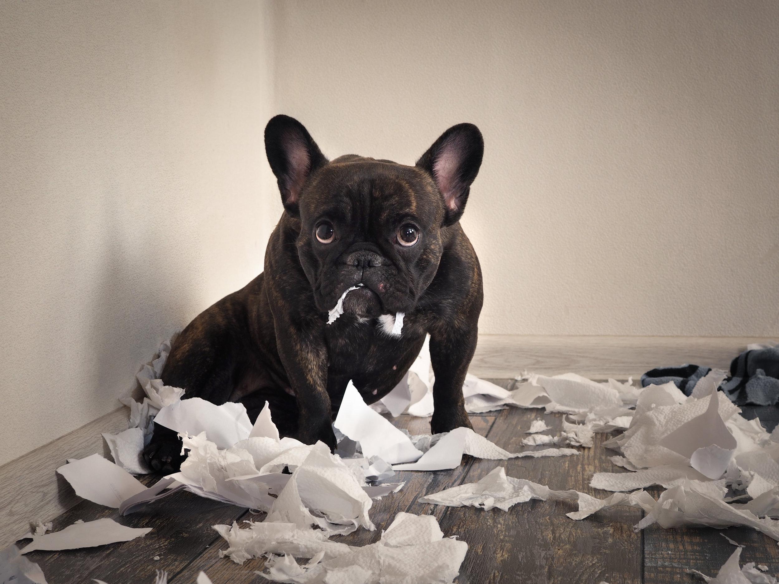 Uh oh! French Bulldog