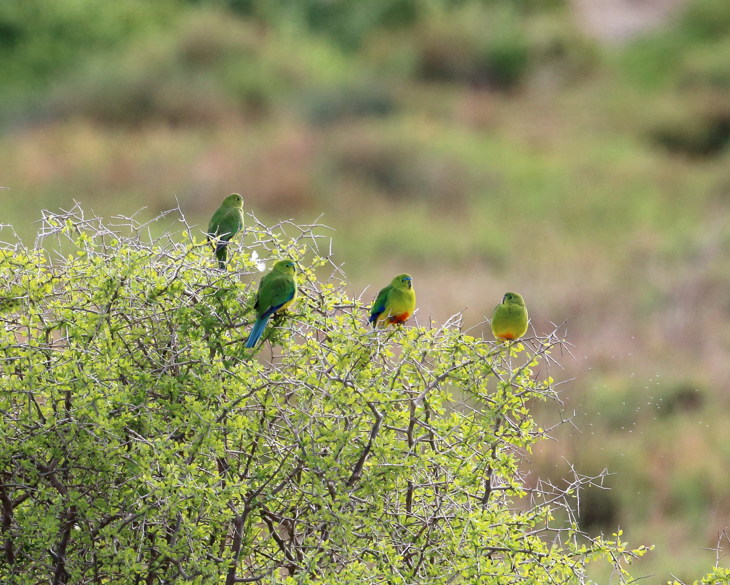 Orange-bellied Parrot. Photo by Andrew Silcocks