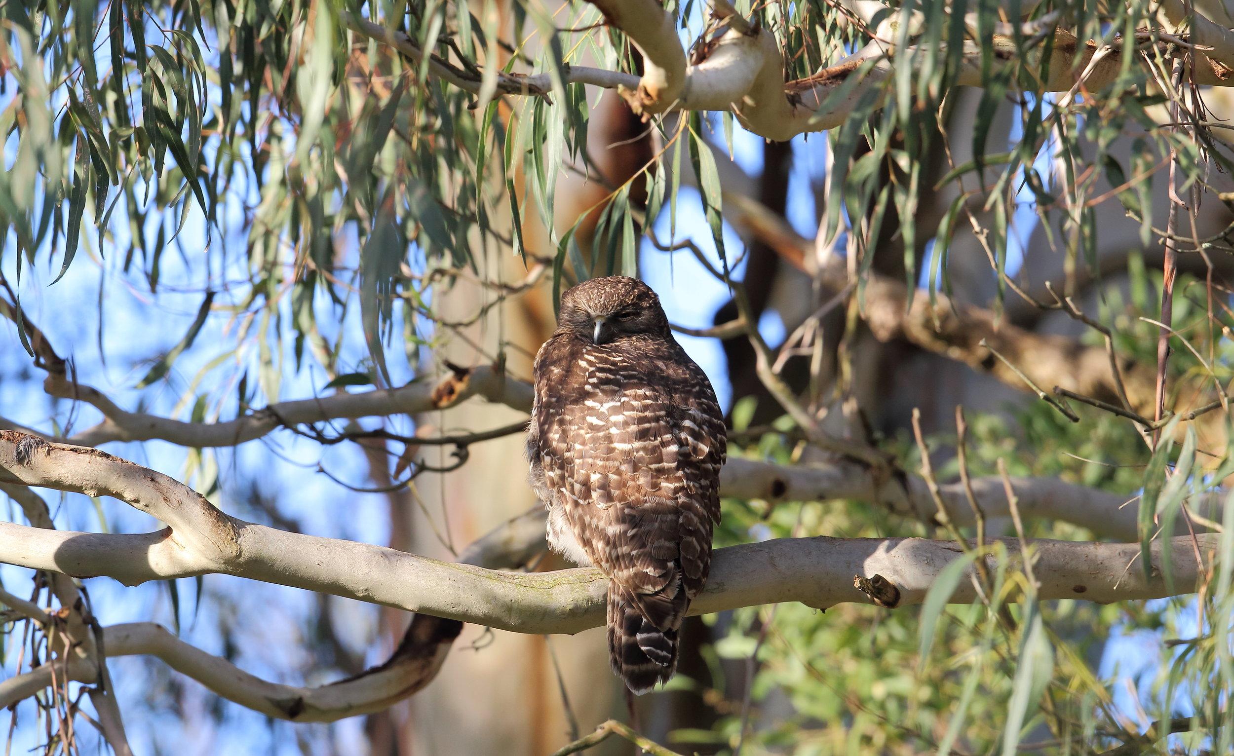 Powerful Owl. Photo by Andrew Silcocks
