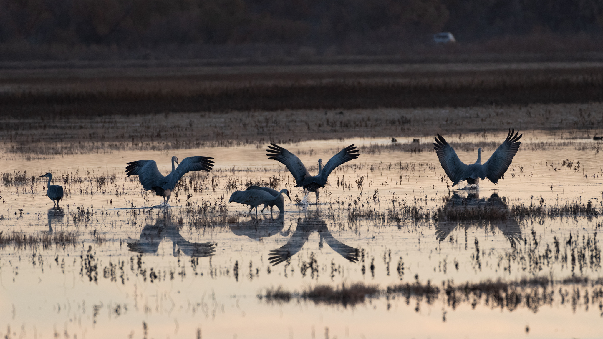 sandhill cranes fly in for the night