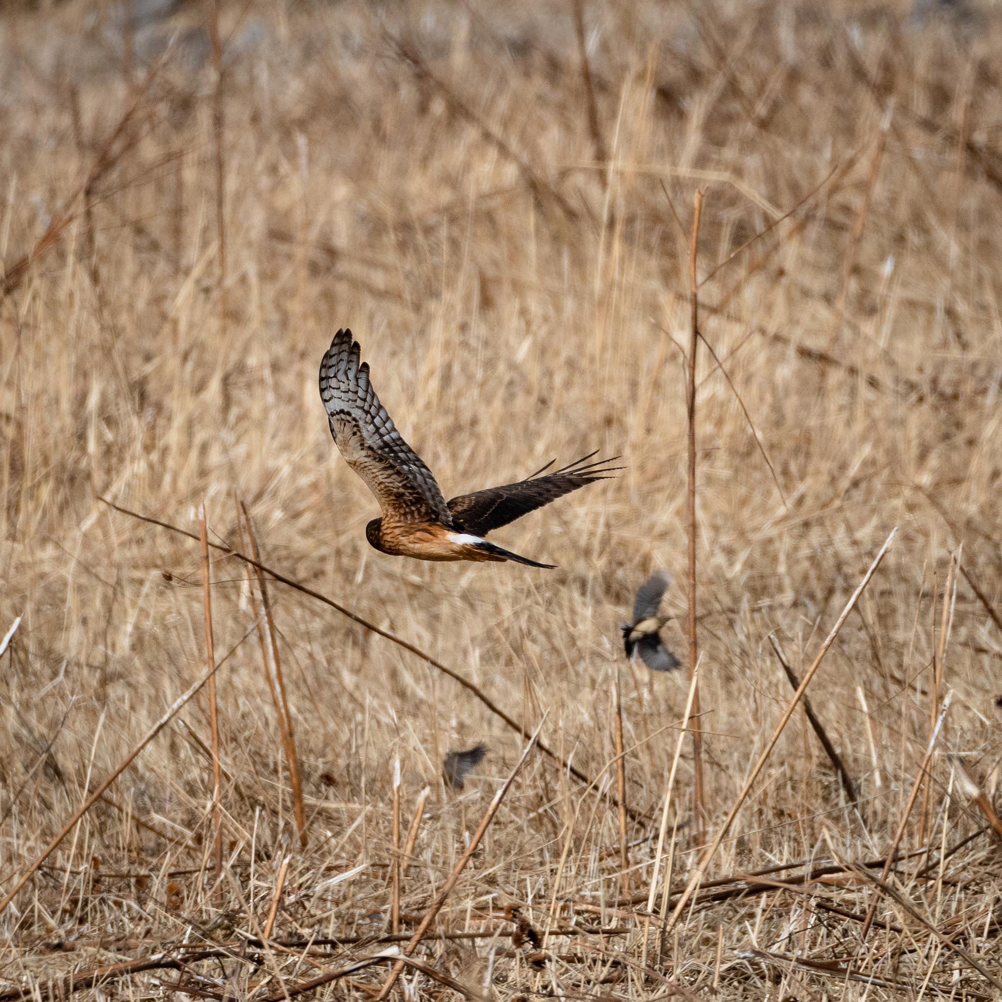Northern Harrier Hawk and small bird