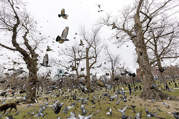 Common Pigeons-Recovered-final.jpg