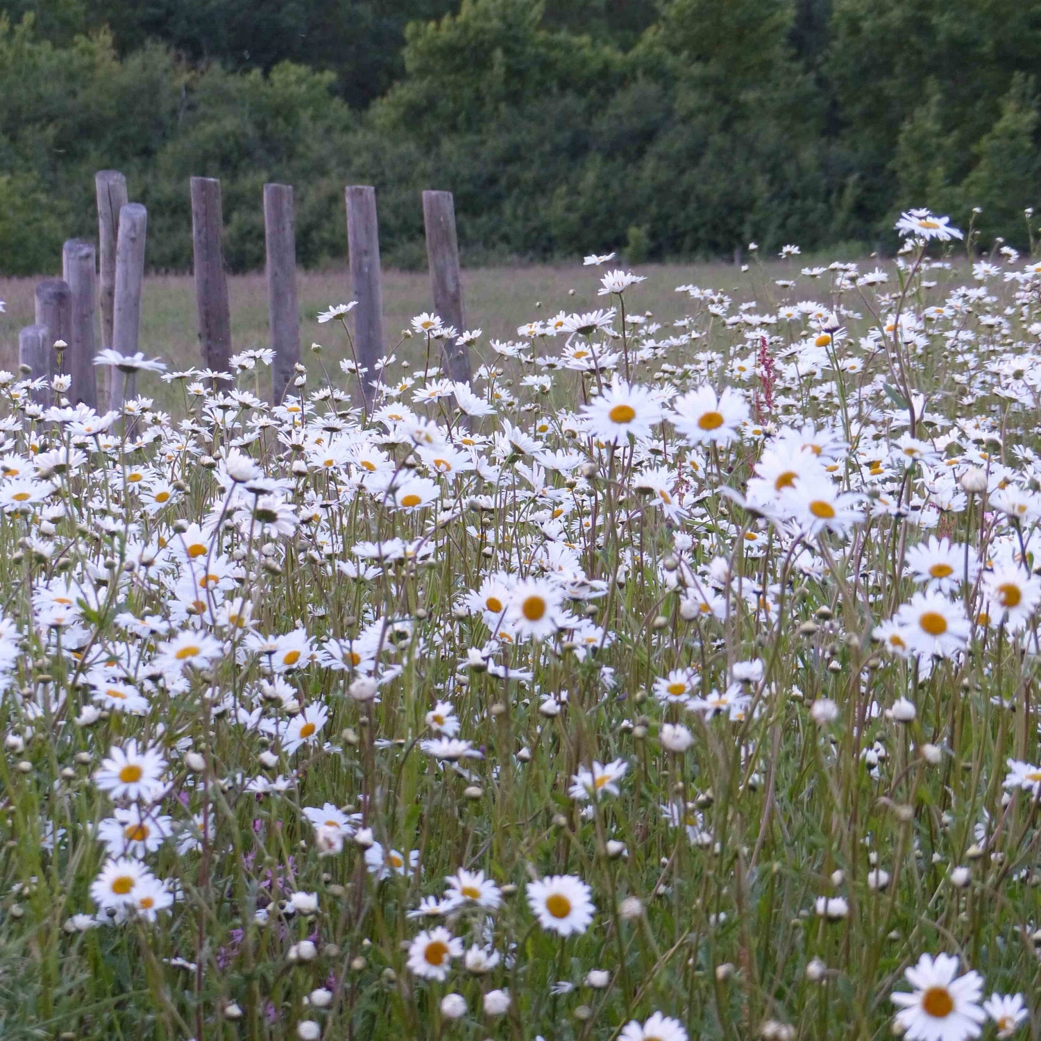 daisies-in-the-meadow-claire-benn.jpg