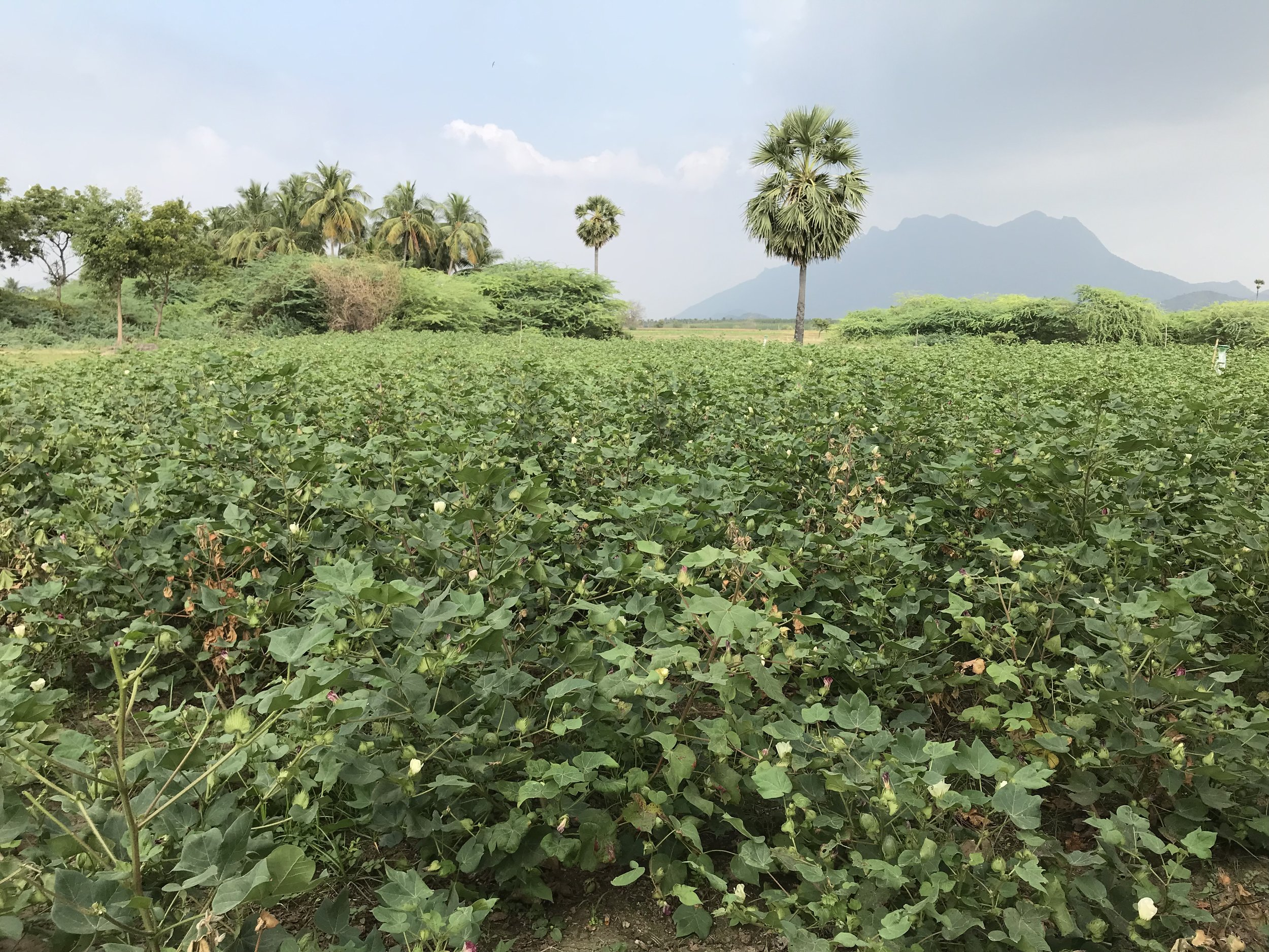 Campo de algodón orgánico
