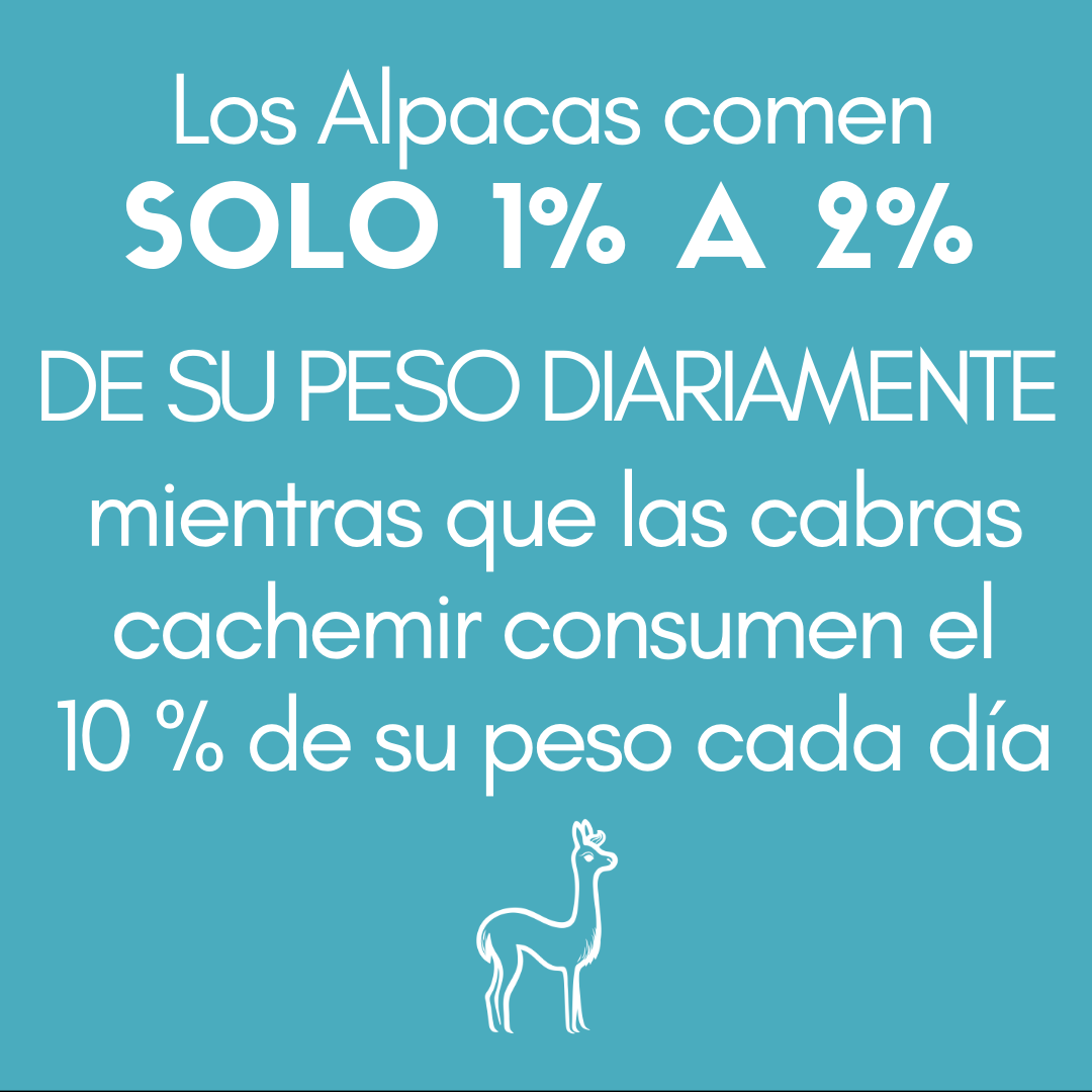 >Las alpacas comen SOLO DEL 1 % AL 2 % DE SU PESO DIARIAMENTE mientras que las cabras cachemir consumen el 10 % de su peso cada día.