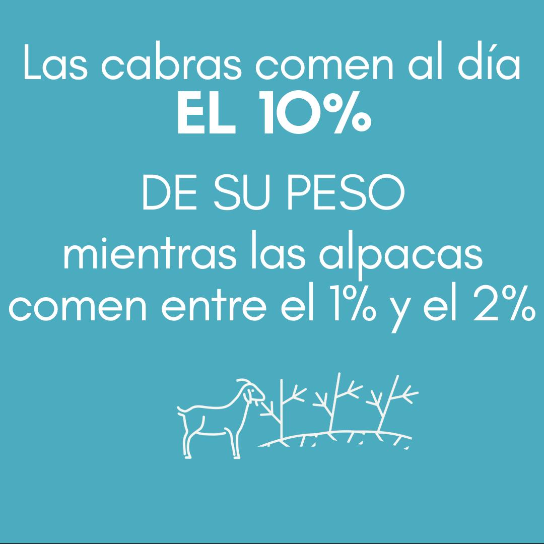 > Las cabras comen al día el 10 % DE SU PESO mientras que las alpacas solo el 1 % o el 2 %.