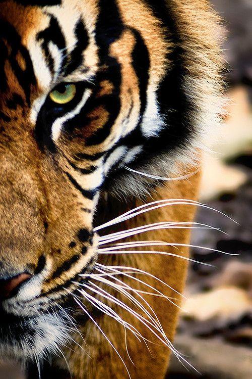 No apologies tiger 2.jpg