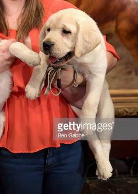 Harbor (Lincoln x Emma) representing the Labrador Retriever on Good Morning America for the Top 10 AKC Breeds of '18!