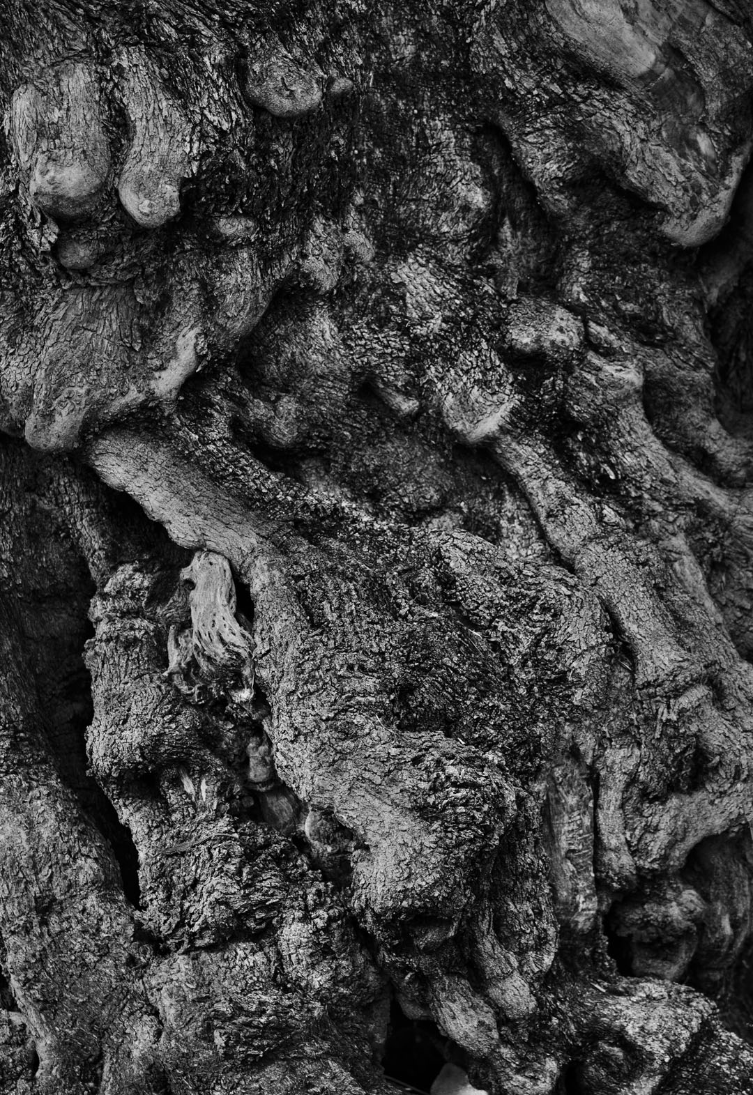 Millenial Rhizome (An Olive Tree in Puglia)
