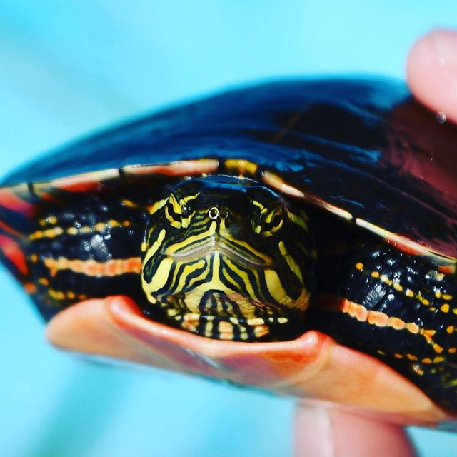 #hello #paintedturtle #beauty