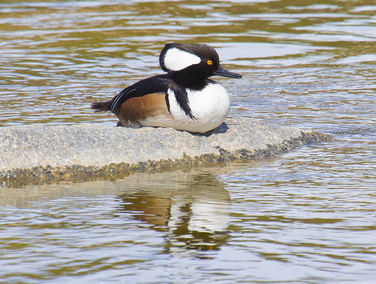 Hooded Merganser on a rock, LA River. Photo credit: Grove Pashley