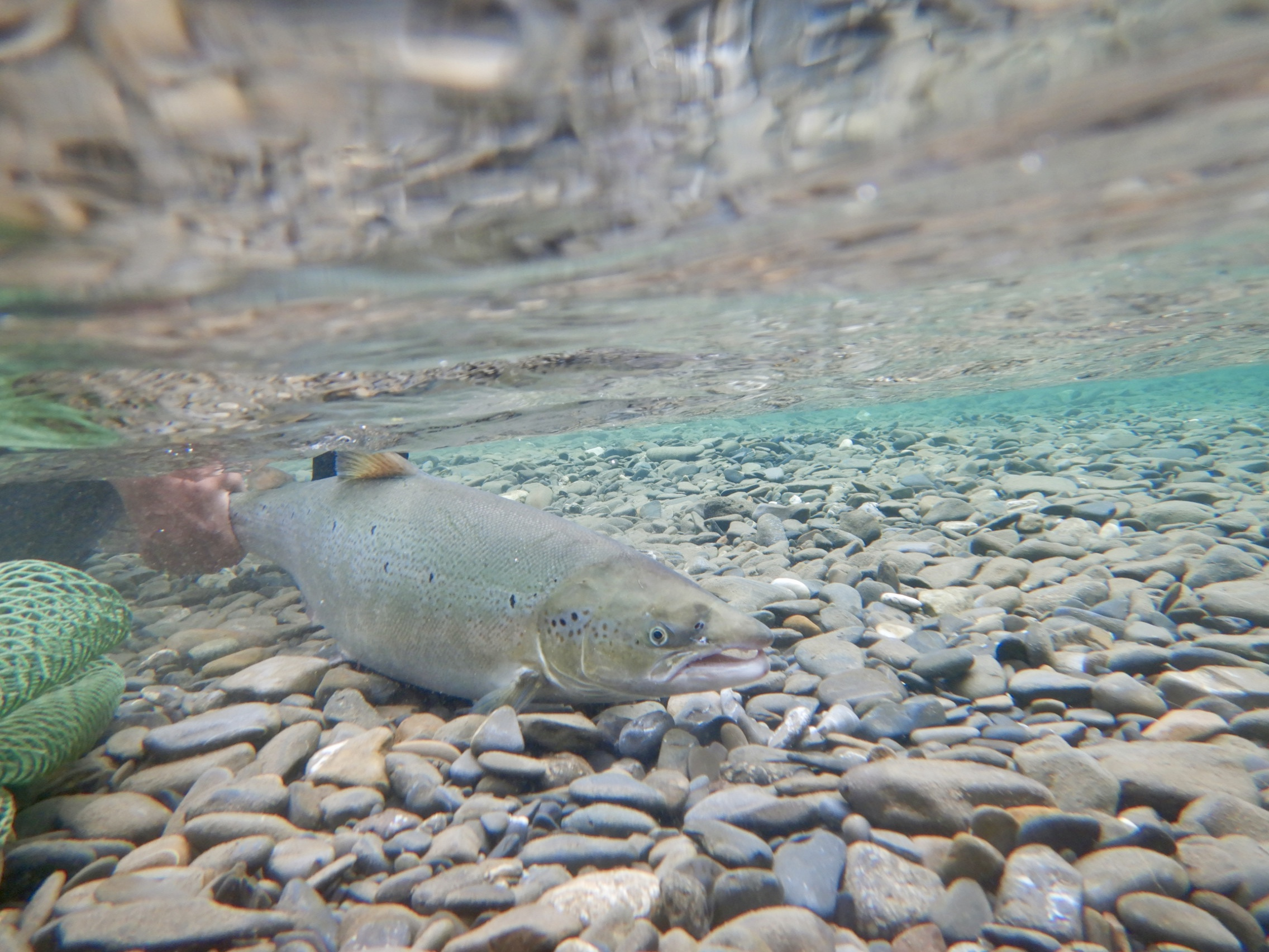 Stunning photo of Steeve Bujold's salmon under water! What a beautiful release!