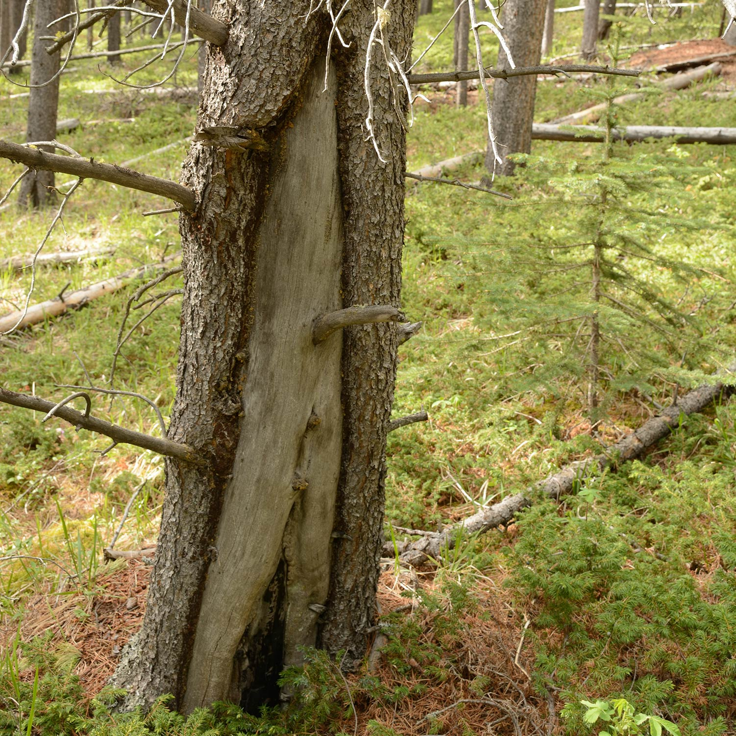 The story told by tree scars is an important component of Landscapes in Motion.