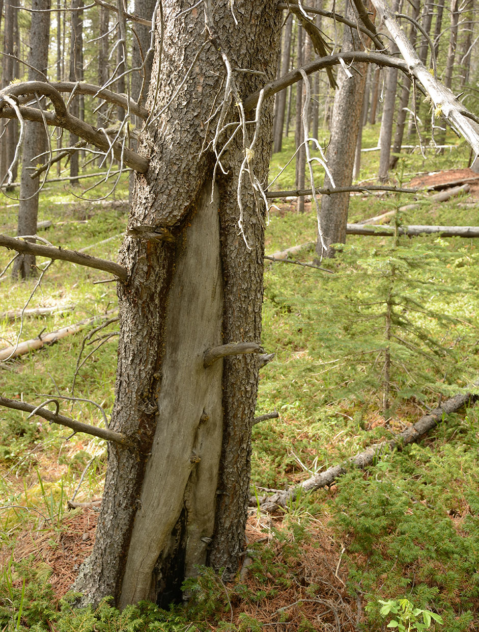 Fires leave scars on the trees that survive them, which can help us learn more about how the forest burned and when. Photo by Cameron Naficy.