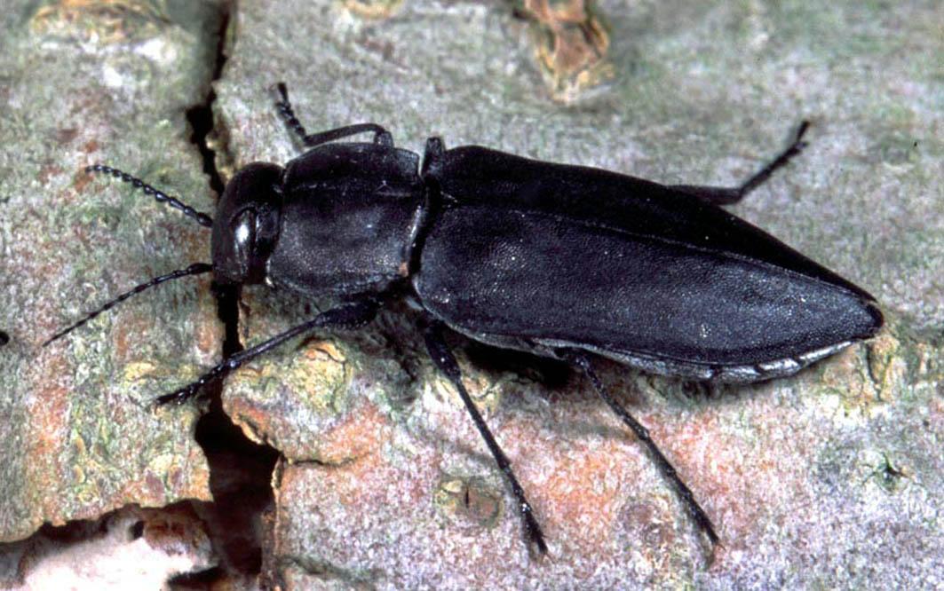 Black Fire Beetle (photo by  AG Prof. Schmitz ).
