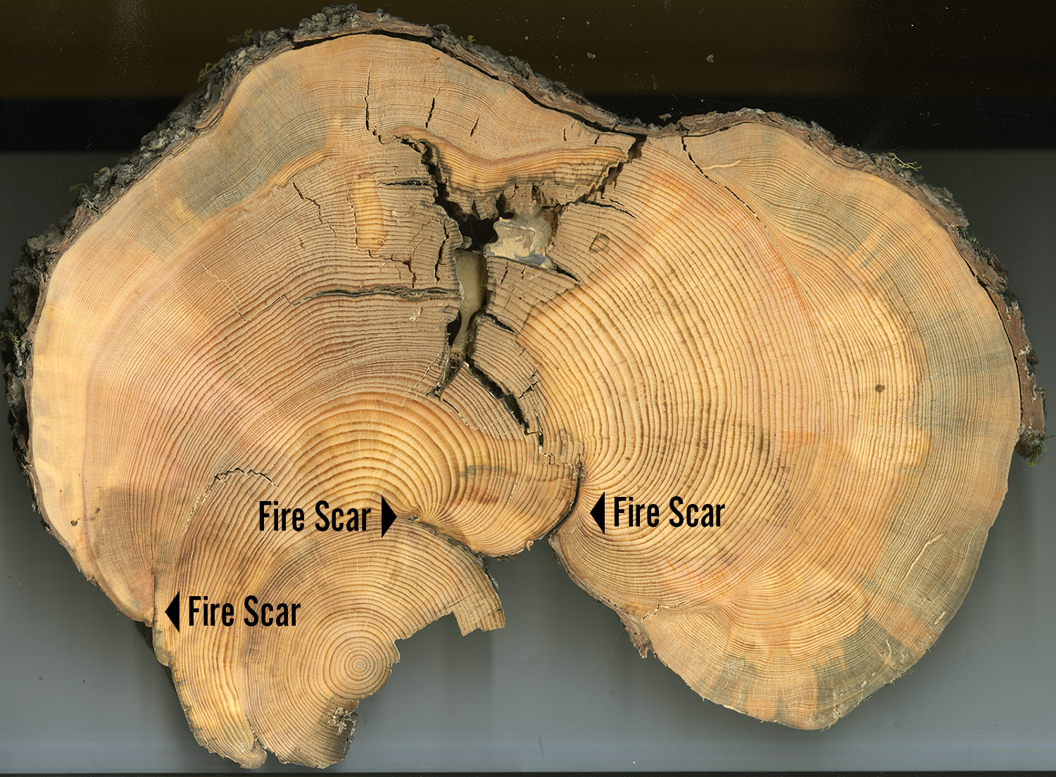 Tree cookie (cross-section) with fire scars labelled. The Landscapes in Motion Fire Regime Team uses this information to reconstruct the fire history of the area.
