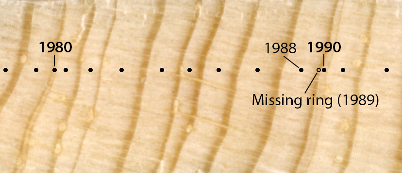 """Dendrochronologists like Cameron need to painstakingly look for and resolve irregularities in tree rings. In this case, the narrow rings in years 1980 and 1990 are true rings. Crossdating also revealed that the 1989 ring was completely missing in this tree. (Note: """"rings"""" refer to the spaces between dark bands, not the dark bands themselves). Photo by C. Naficy."""