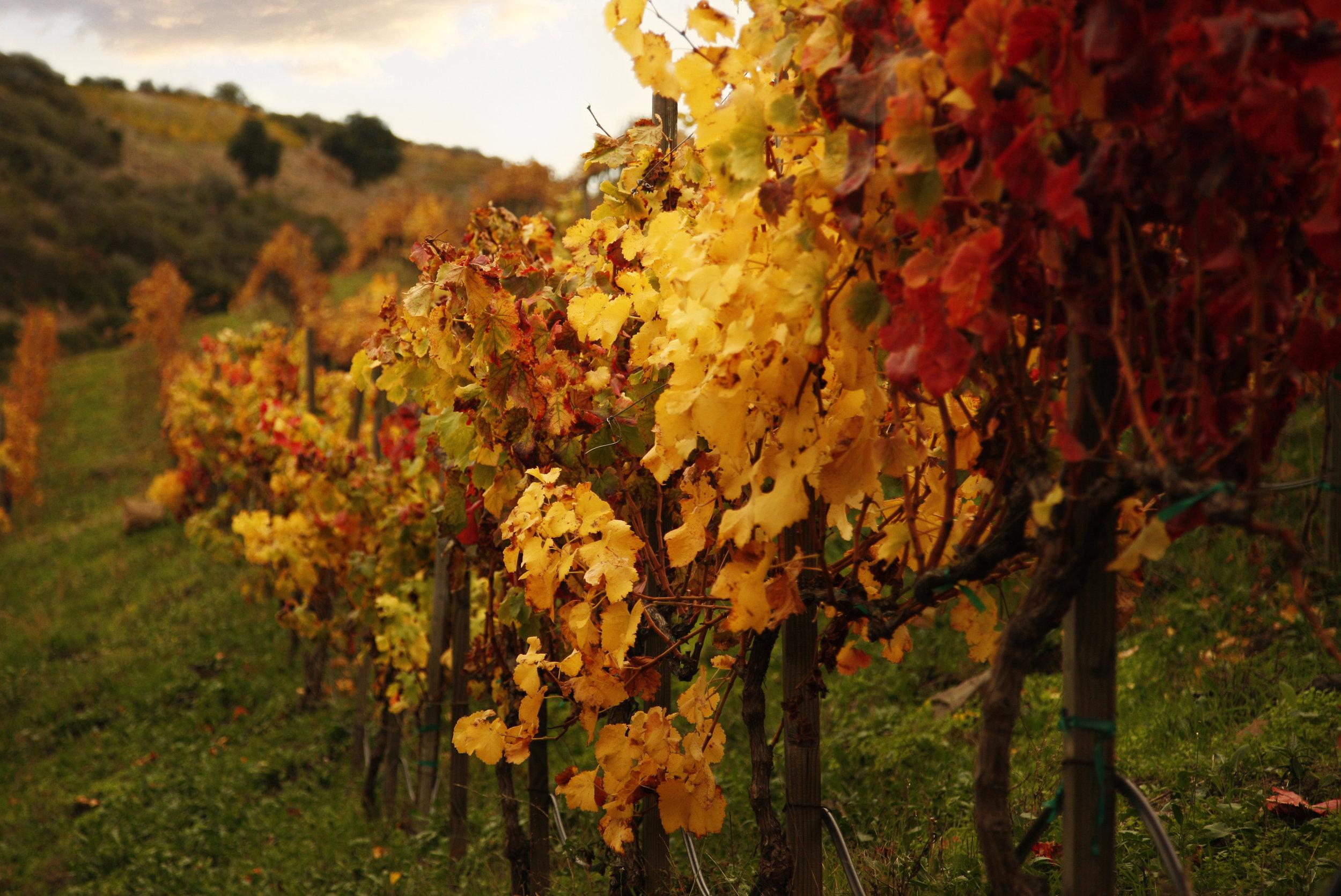 Fall Vineyard row_crop.jpg