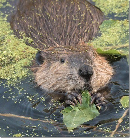 Beaver return to Napa River. Photo by Rusty Cohn