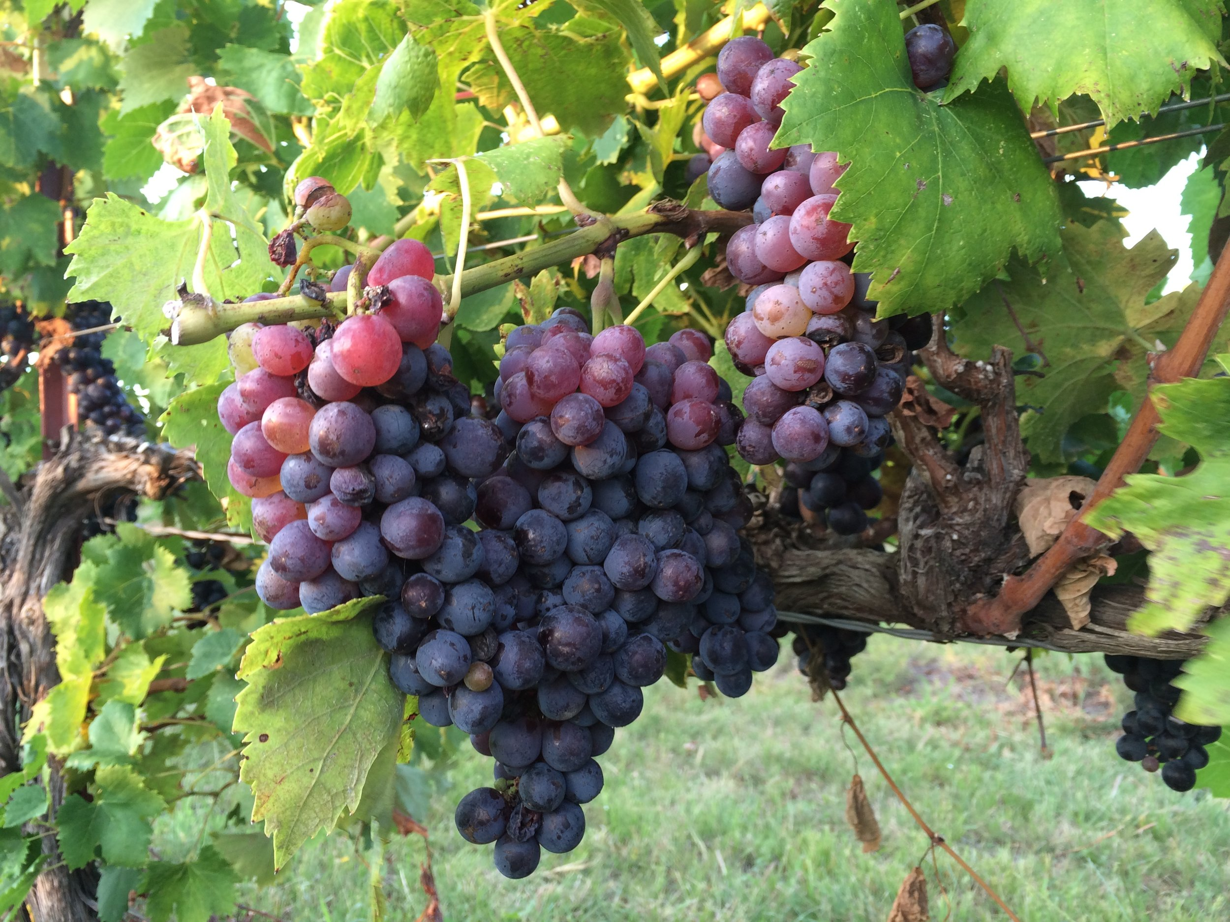 REAL GRAPES   REAL WINE -