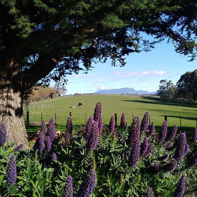 Morning coffee with this view.... Never gets old! . . #truffledore #farmstay #mtroland #mountroland #northwesttasmania #tasmania #tasmaniagram #tassie #kentish #mountain #mountainview #nofilter #truffiere #cows #farmlife