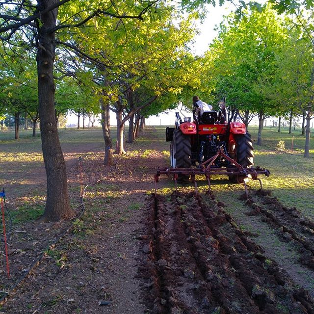 The last bit of truffiére maintenance is cultivating! We do this to stimulate root growth, mix up truffle mating types (it appears there are male and female truffles!) and to losen the soil to make it nice and airy for the new truffles to grow! Let's hope all our hard work pays off next season! . . #truffledore #truffles #blacktruffle #perigord #trufflefarm #truffiere #truffieremaintenance #cultivate #farmlife #oaks #itsbeenabigmonth #ineedaholiday