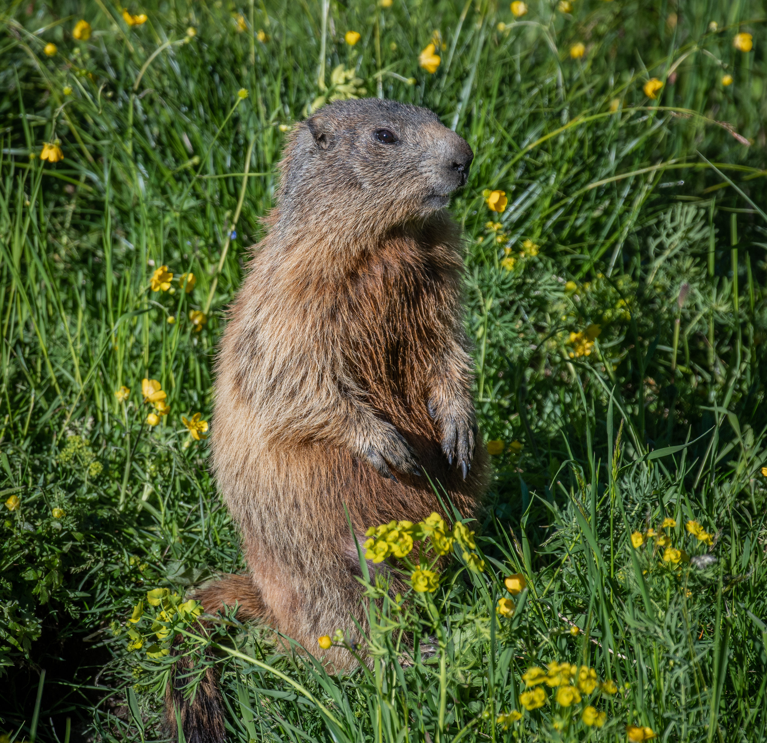 An Alpine Marmot Mooching in the Meadows.