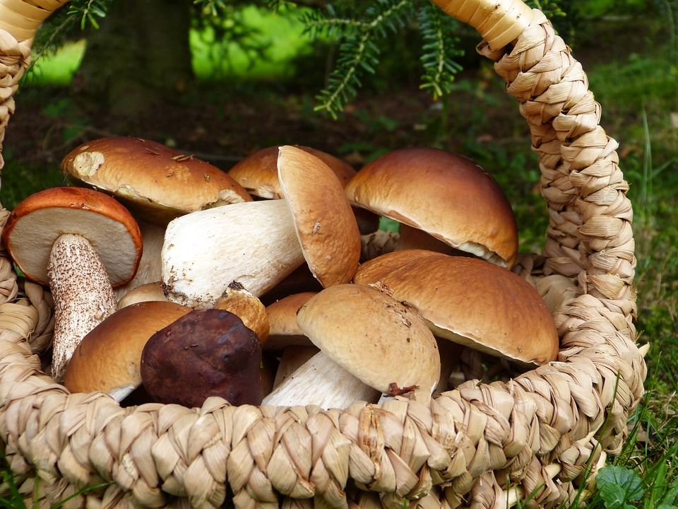 harvesting porcini mushroom lombardy corteno golgi aprica
