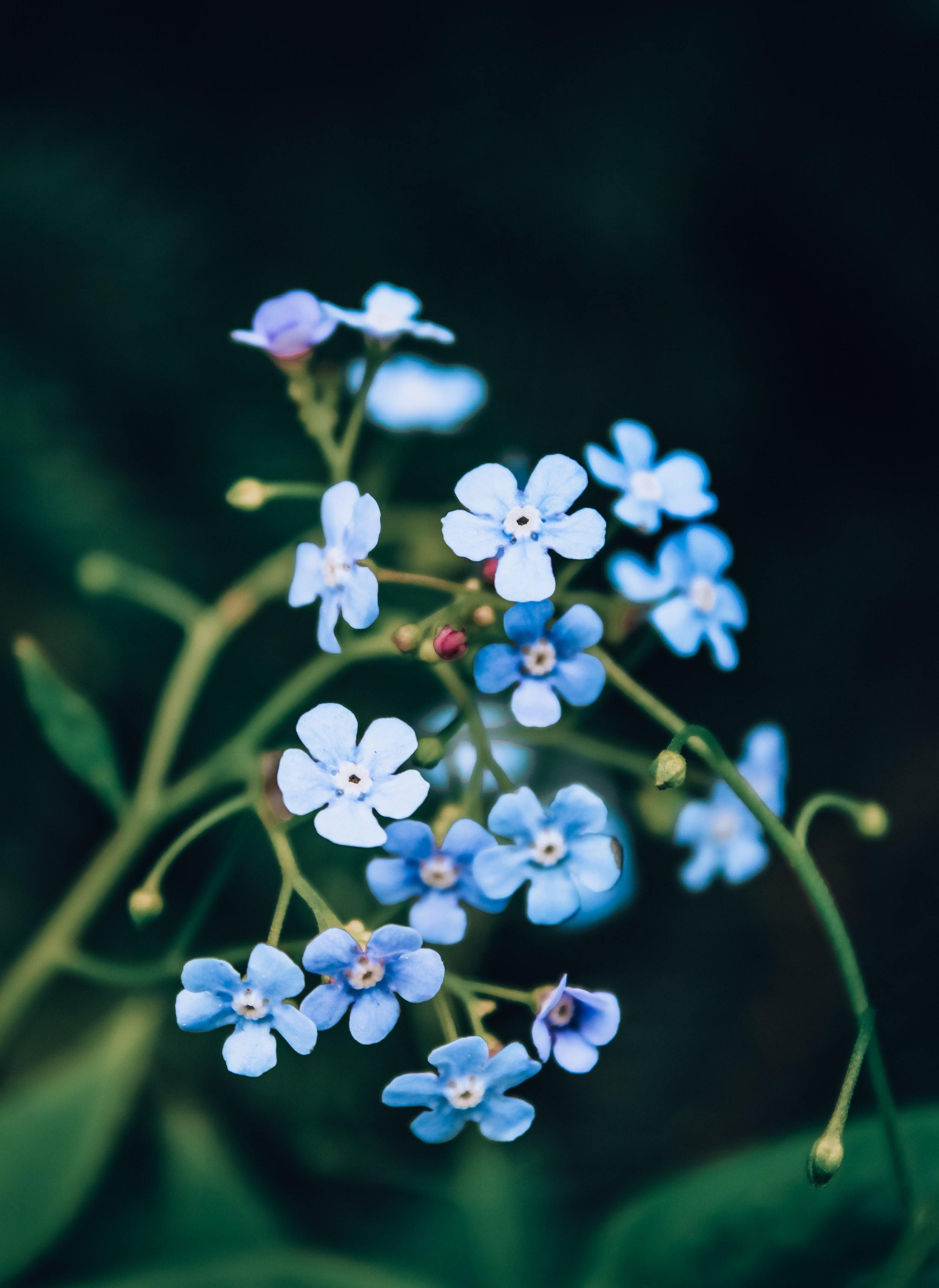 alpine-forget-me-not-beautiful-blossom-2379476.jpg