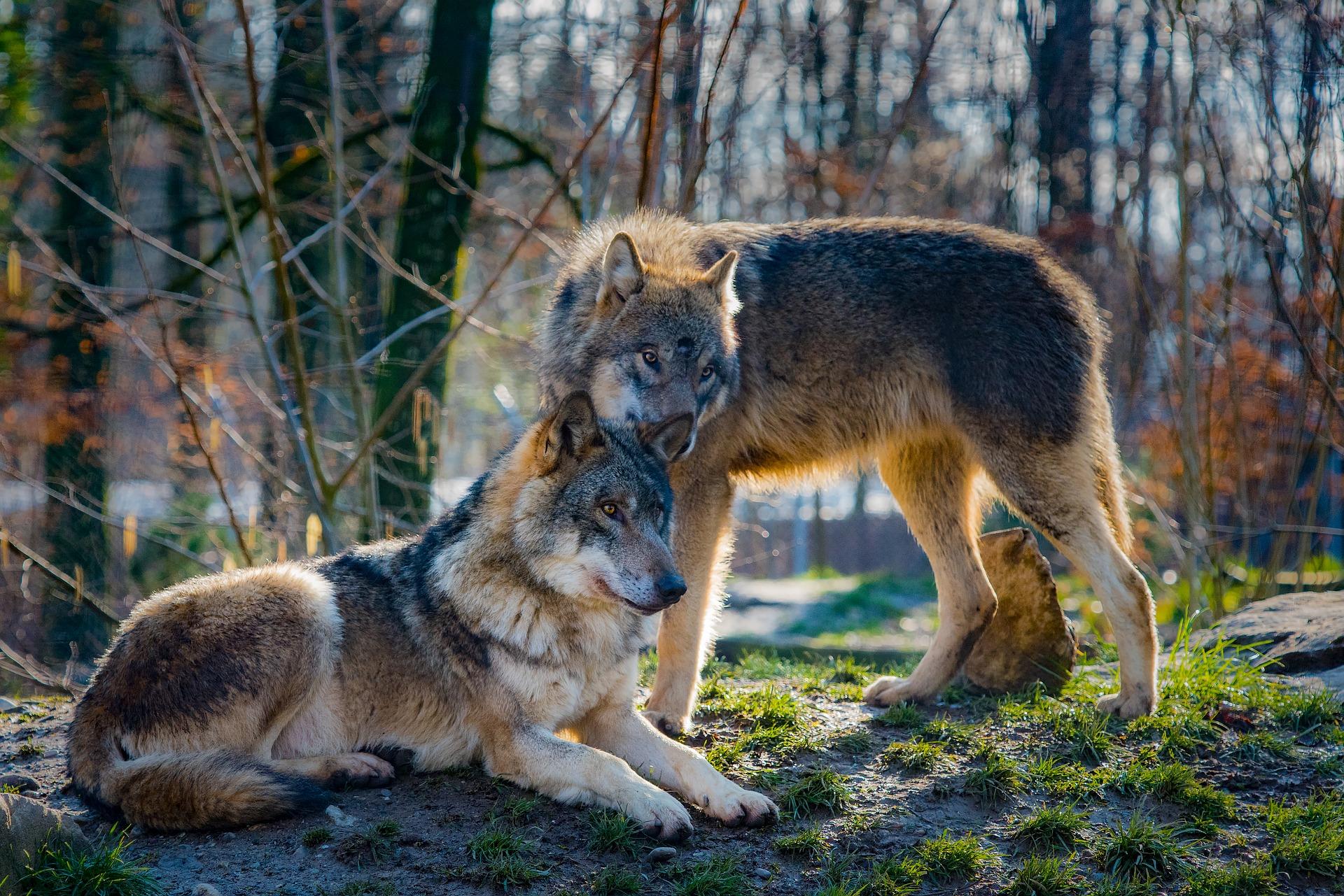 wolves-2178126_1920.jpg