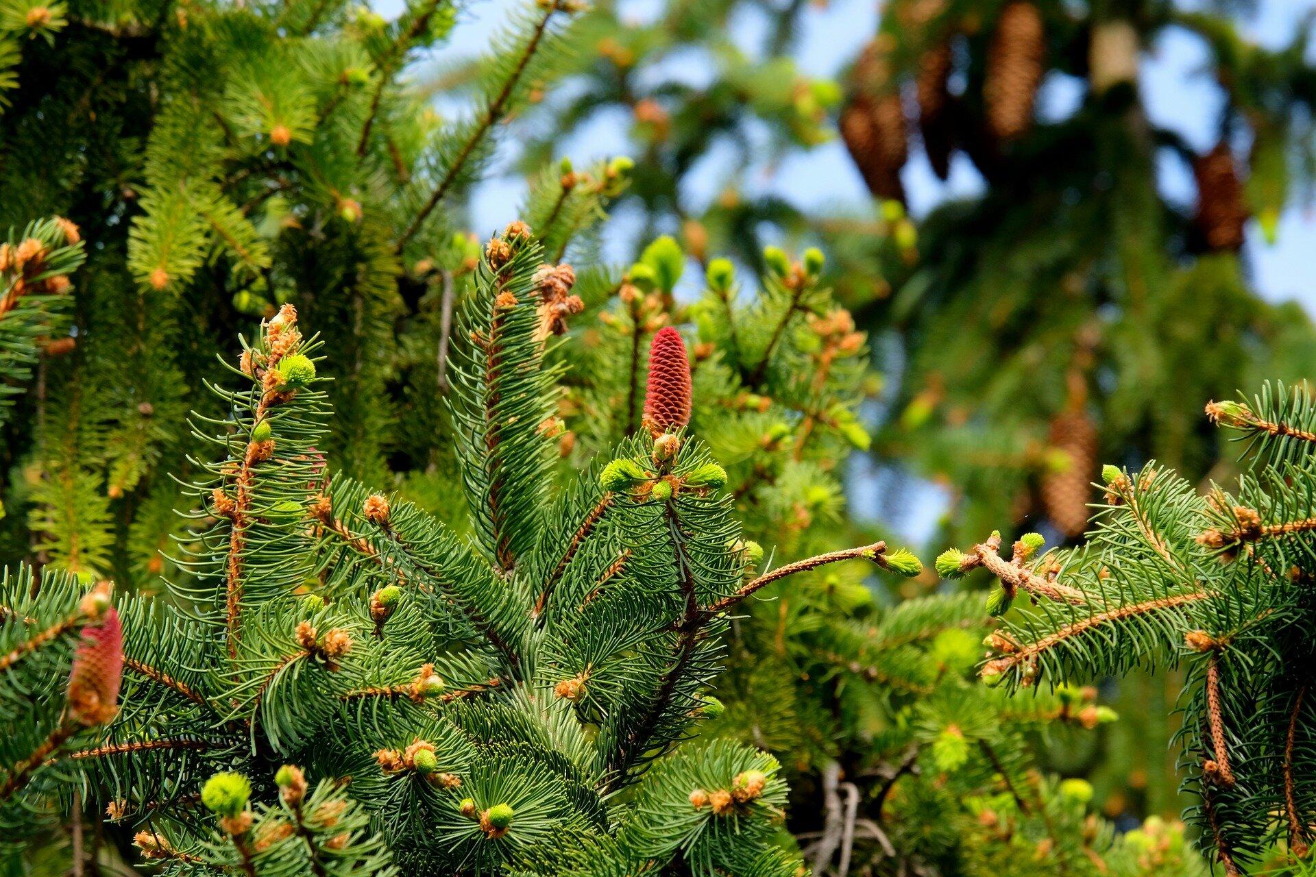 fir-tree-2288229_1920.jpg