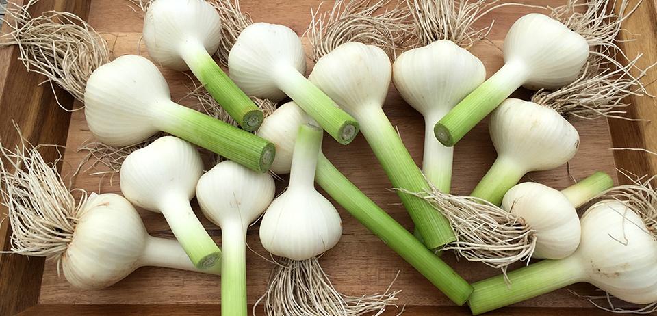 garlic fresh local banner.jpg
