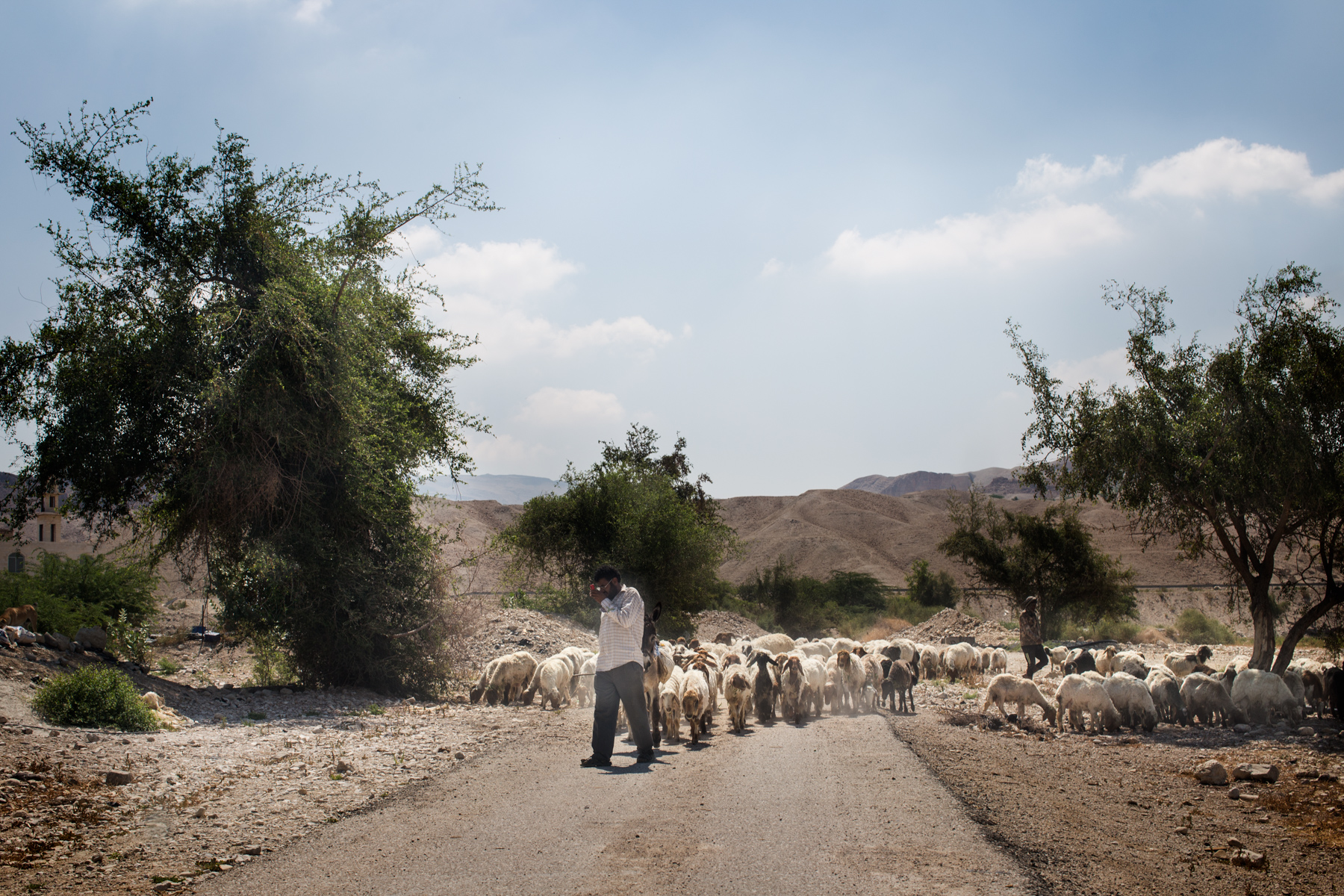 A shepherd leads his flock of sheep through agricultural land near the Dead Sea in Ghor Safi, Jordan, on May 4, 2015.