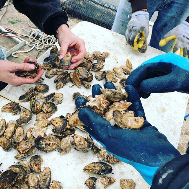Oysters are delicious and nutritious! And quality control is cool too 😎 #charlestonoysterfarm #oysters #oyster #raw #seafood #sustainablefarming #sustainable #shucksess #shucking #shuckinggoodtime #shucks #handson #behindthescenes #farming #charleston #sc