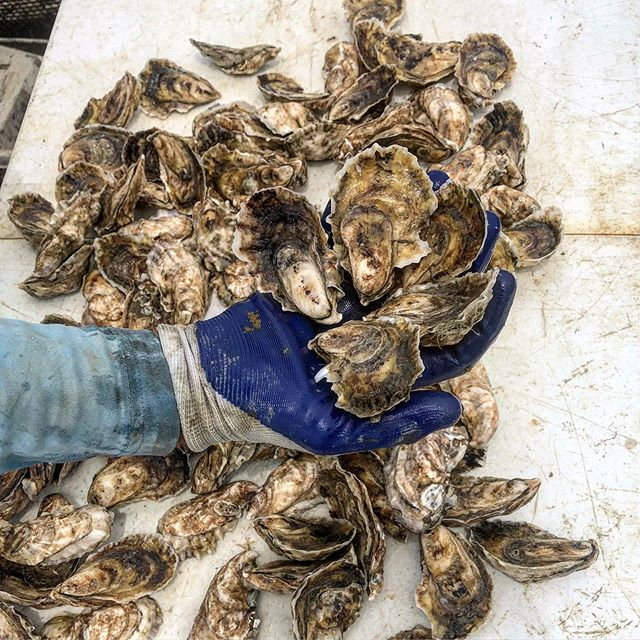 Anyone want to do some QA/QC?! Check us out this week @chubbyfishchs and @darling_oyster_bar ! These #perkyseacups and #mosquitofleetpetites will guide your tastes buds on the adventure of a life time. These pair well with a full bodied ice plate and a clean but light oyster knife :)! #getshucked #oysters #marshtotable #charleston #local #sustainable #handraised #yum #qualitycontrol