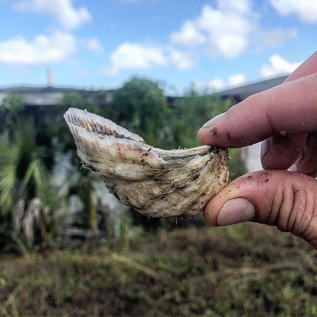I wouldn't call this seed anymore! Boom! Planted in Late July, these babies are on their way to becoming beautiful, salty and single #perkyseacups and #mosquitofleetpetites ! #cupsizematters #local #moreflowmoregrowmoredough #handraised #oysters #charleston #marshtotable #tastetheperks #shellyeah