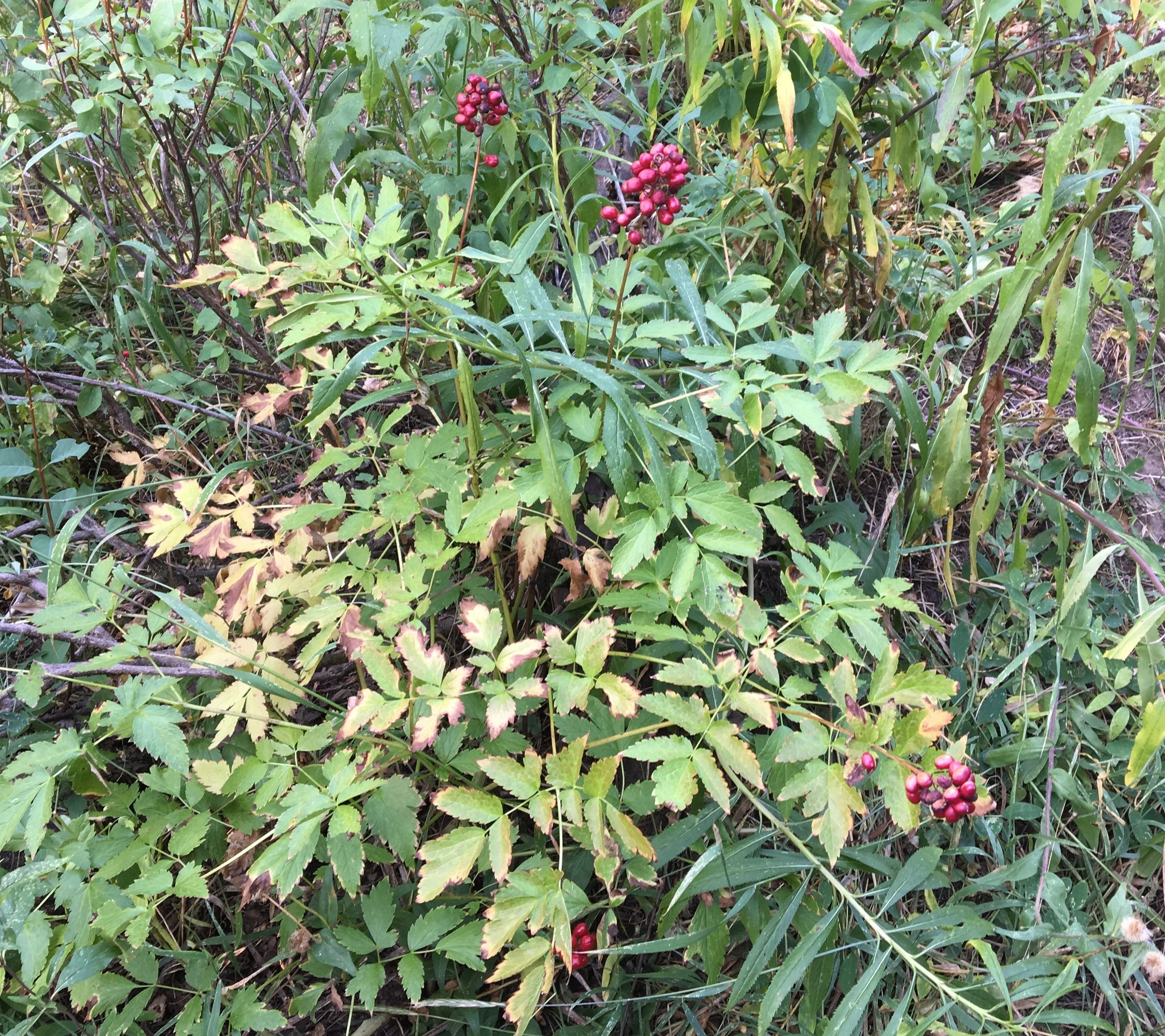 Berries on the plant -