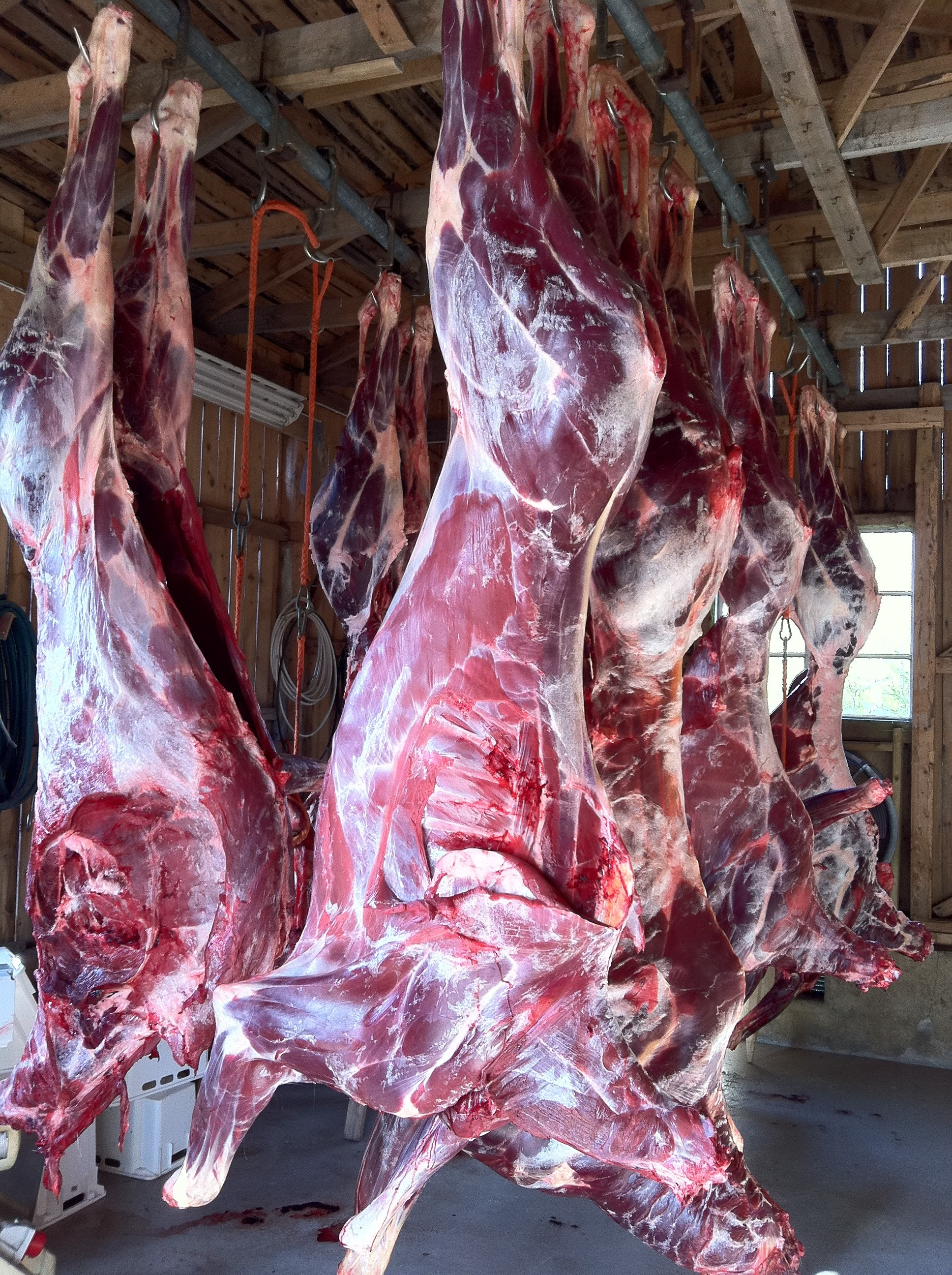 The result after a successful moose hunt in Sweden. Several moose are dry aging in the village big game processing house.