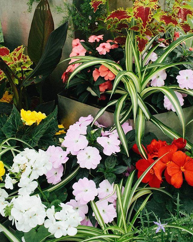 Weekend colour palette 🌸🌿 ________________________________________________ #botanicgardens #spiderplant #greens #weekendstroll #glasgowbotanicgardens #bespokeatelier