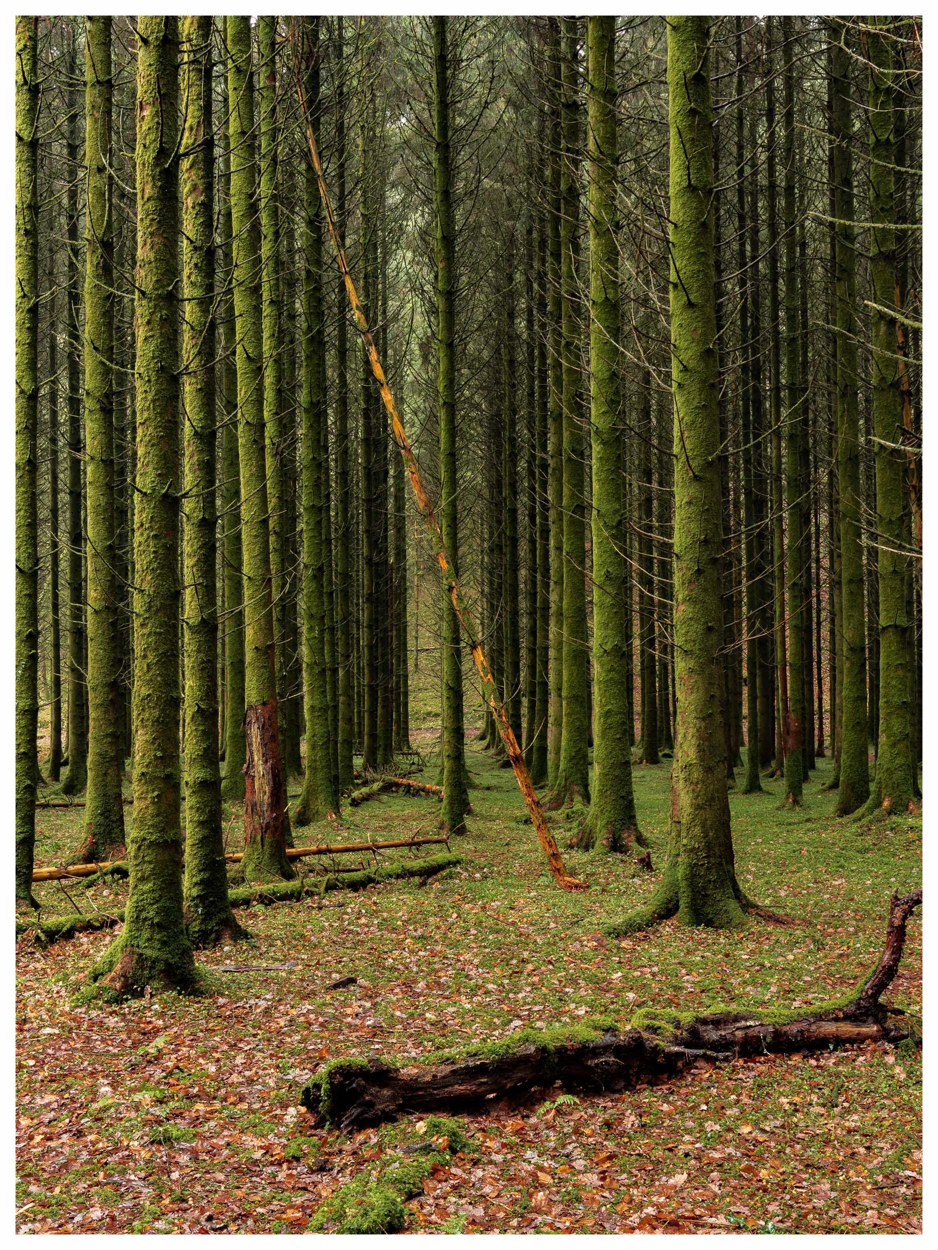 Fallen comrade, pines on the river Barle, Exmoor