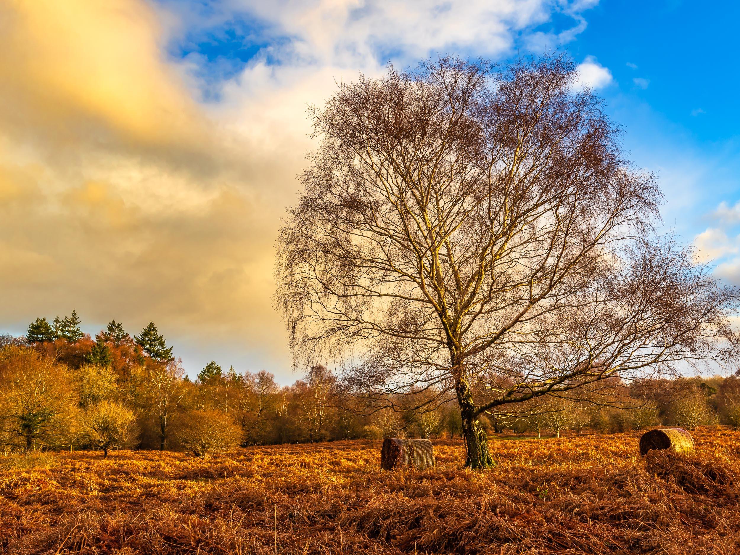 Birch tree above Burrington Combe