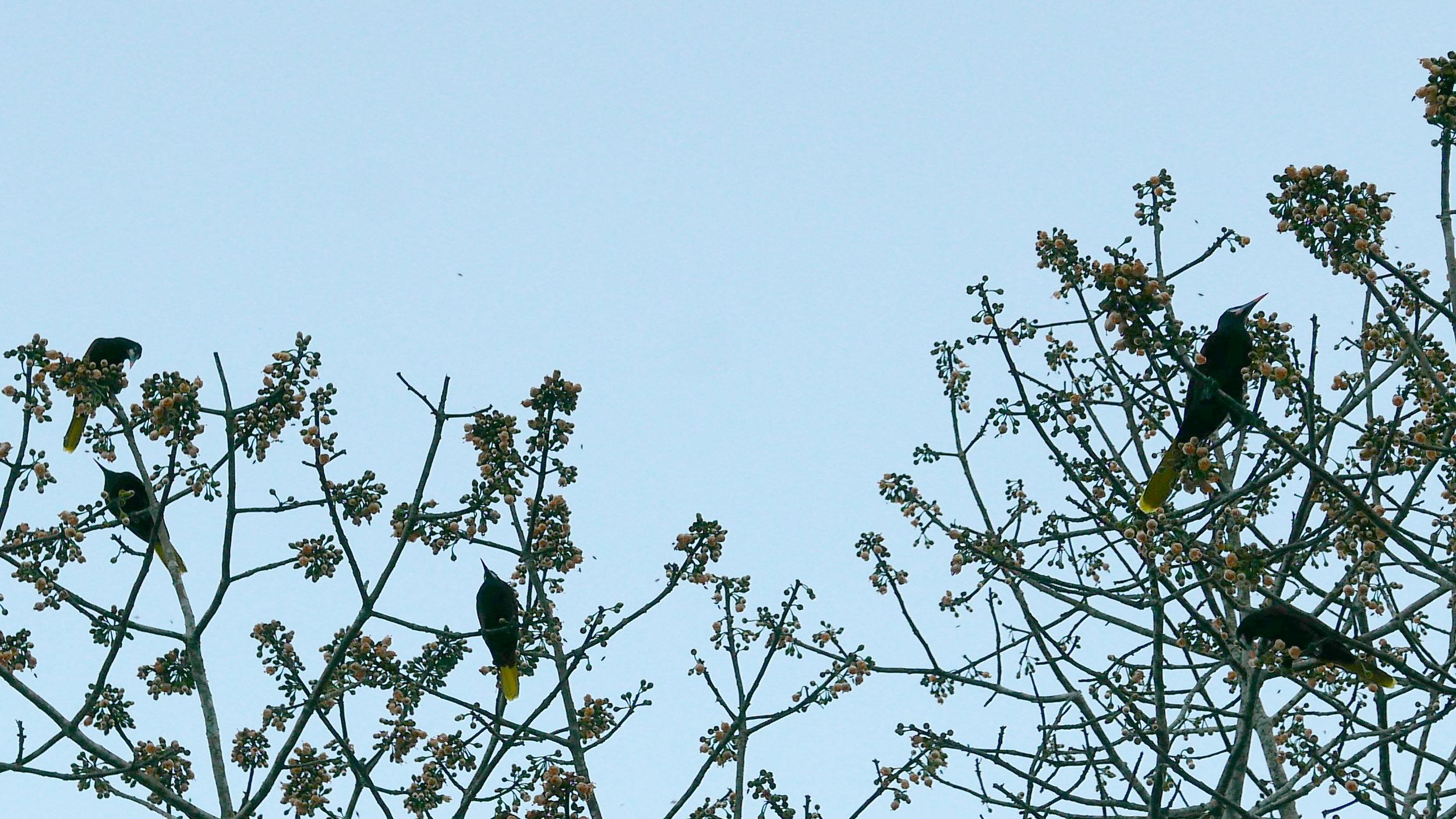 Montezuma Oropendola birds feeding