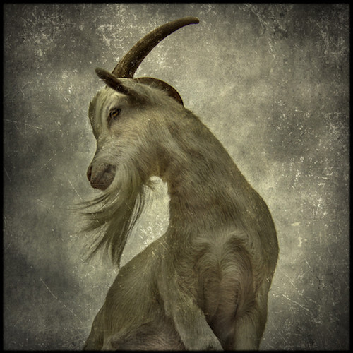 """Chester - Born in mid-2012? Joined in the Winter of 2012/13 with his brother Lefty. One of the earliest goats in the herd. Herd king. """"Maybe daddy"""" to Atho & Winter. Chews clothing and hair. Chester's horns grow back and curve outward, and his coat is white."""