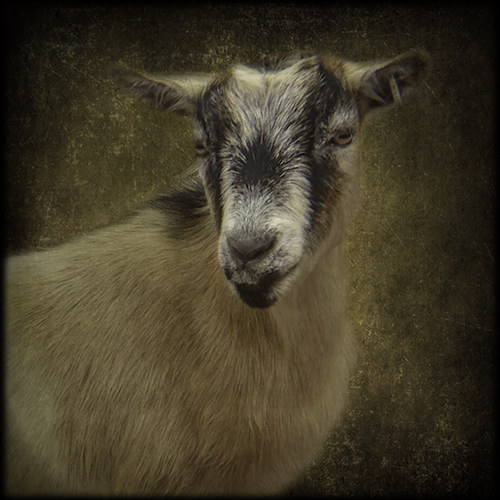 """Bailey - Born in late 2011? Joined in the Spring of 2013 with Duchess. Mom to Clover and Precious. Herd co-queen? Great """"starter"""" goat. Bailey was disbudded by her original farm, and her coat is tan and white with black accents."""